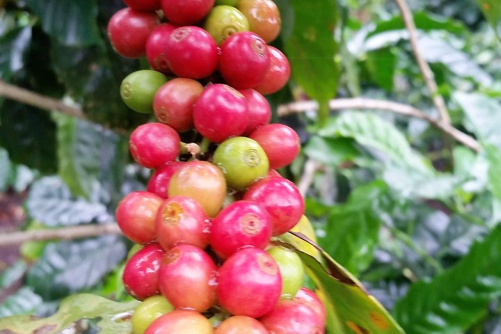 Excursión cafetera para grupos pequeños, Boquete, PANAMA