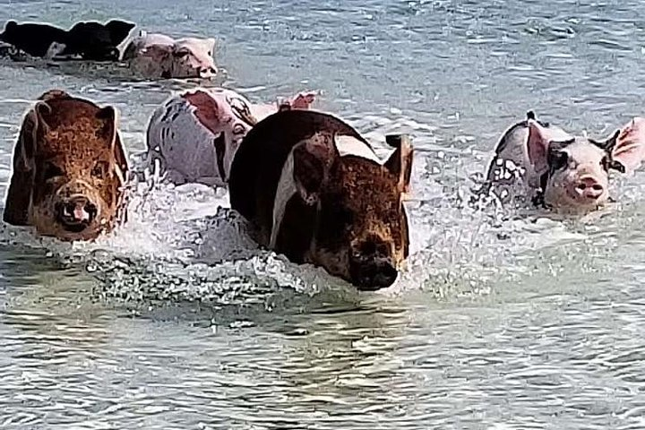 West End - Swim with the Pigs Experience, Freeport, BAHAMAS