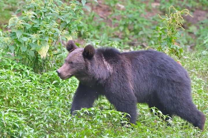 Experiencia de avistamientos de osos para grupos pequeños desde Brașov, Brasov, RUMANIA