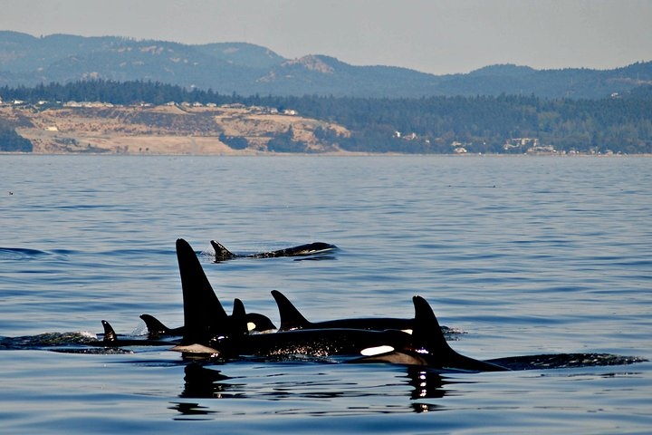 Victoria Whale Watching Tour on a Covered Vessel, Isla de Vancouver, CANADA