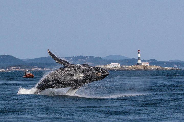 Whale Watching Tour in a Zodiac Boat in Victoria, Isla de Vancouver, CANADA