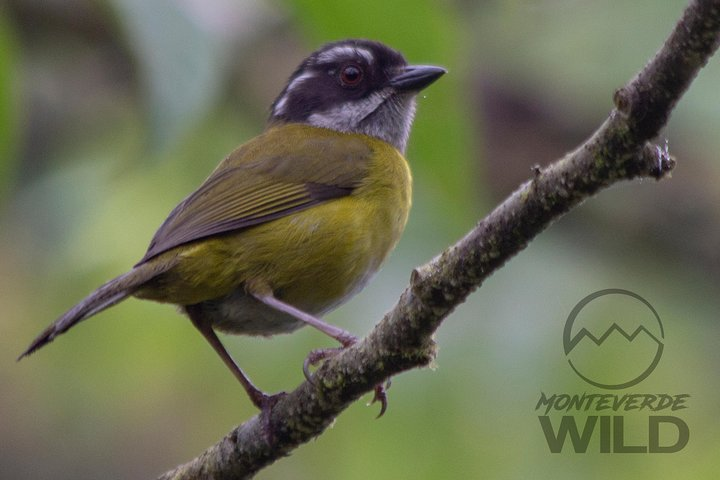 Birding tour -Monteverde Wild-, Monteverde, COSTA RICA