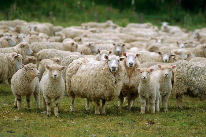 Akaroa Shore Excursion: Akaroa Harbour and Sheep Farm Local Tour, Akaroa, NUEVA ZELANDIA
