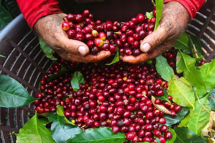 Descubre todo sobre el proceso y elaboración del Café en un coffee tour guiado., San Jose, COSTA RICA