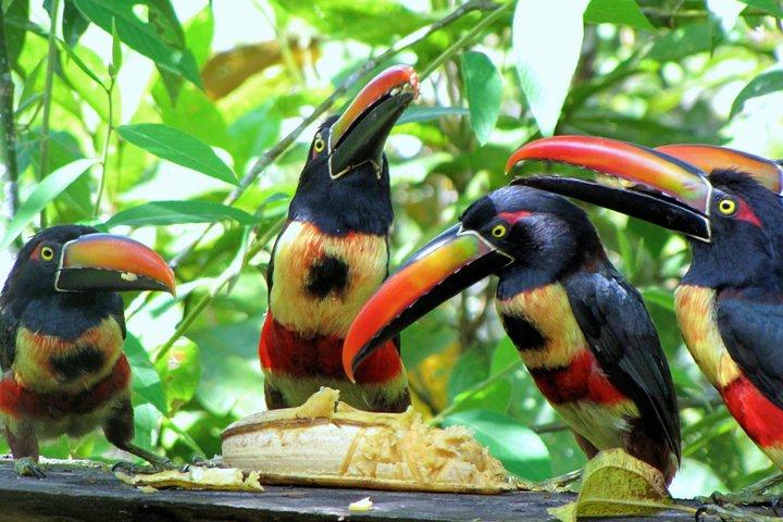 Specialized Birdwatching Tour, Boquete, PANAMA