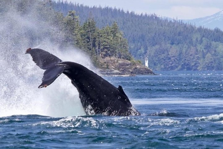 Half-Day Whale Watching Adventure from Telegraph Cove, Isla de Vancouver, CANADA