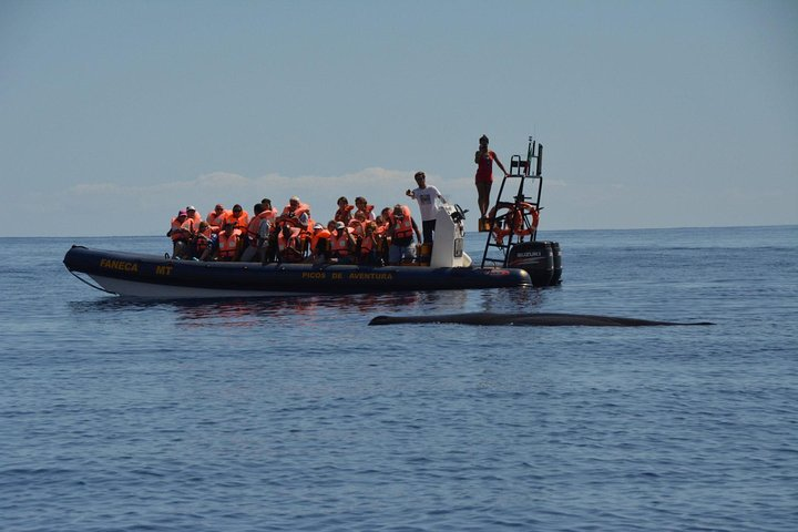 Half-Day Whale and Dolphin Watching Tour in Ponta Delgada, ,