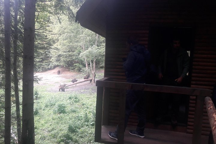 Bear Watching in The Wild from Brasov, Brasov, RUMANIA