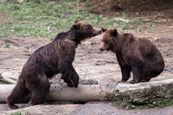 Bear watching experience near Brasov, Brasov, RUMANIA