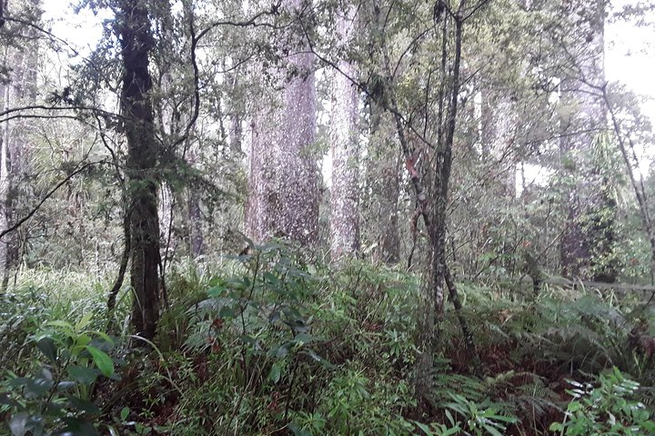 Giant Kauries and Tiny Glow Worms - Bay of Islands Tour, Bahia de Islas, NUEVA ZELANDIA
