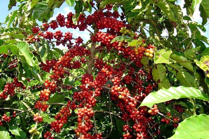 Lake Atitlan - Coffee Tour, Panajachel, GUATEMALA