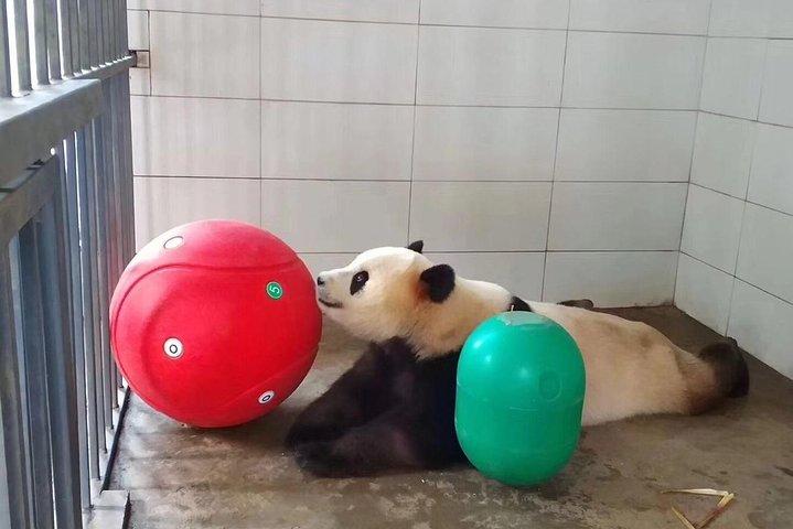 One Day Trip to Chengdu Panda Base & Hanglongxi Ancient Town, Chengdu, CHINA