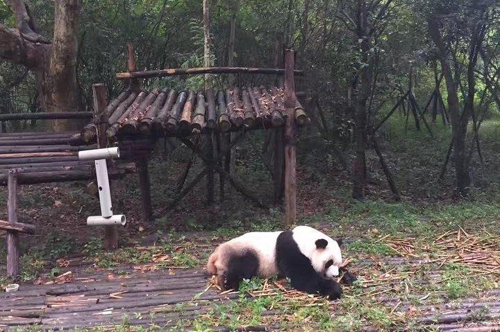 Private Chengdu Panda Base Day Tour by Round-way Flight from Shenzhen, Shenzhen, CHINA