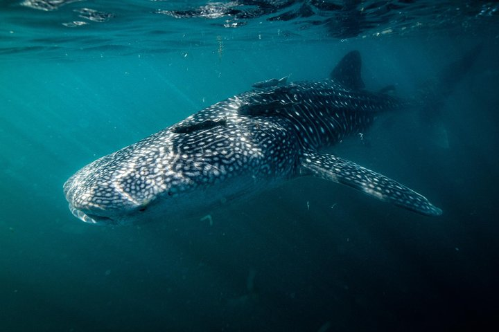 Whale Shark snorkeling at La Paz guided by a local marine biologist, La Paz, Mexico