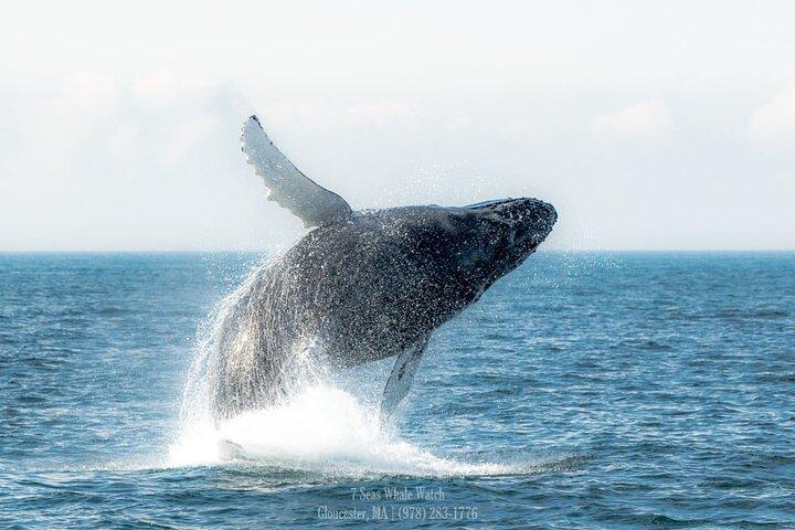 Whale Watching Trips to Stellwagen Bank Marine Sanctuary. Guaranteed sightings!, Gloucester, MA, ESTADOS UNIDOS