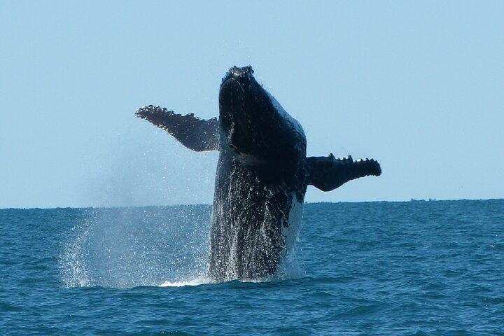 Humpback Whale Swim Ningaloo Reef, Exmouth, Austrália