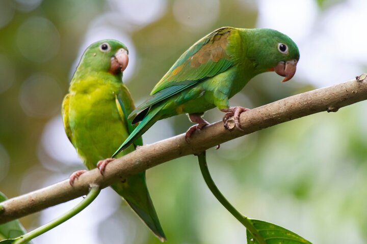 Urban Birdwatching Tour (Puerto Jiménez), Puerto Jimenez, COSTA RICA